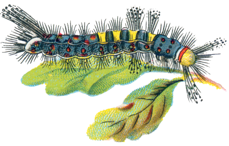 Png black wite moth caterpillar. Flowering currant and vapourer