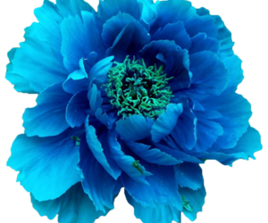 Turquoise flower png. Images about transparent