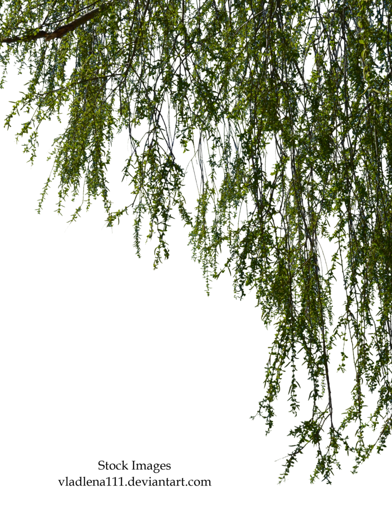 Png branch. Transparent images pluspng willow