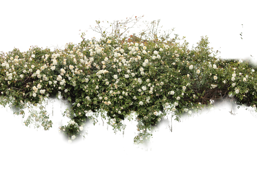 Png bushes. Shrub transparent images all