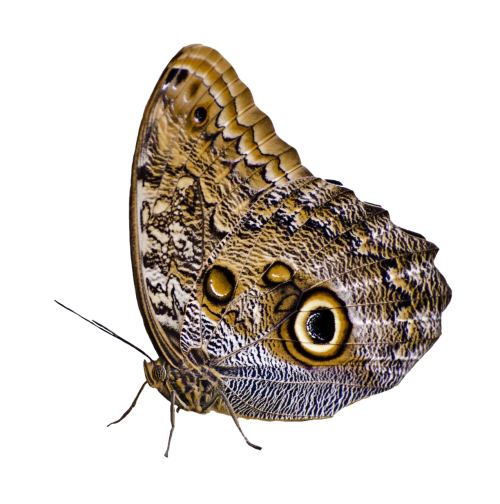 Png butterfly. Image pngpix download