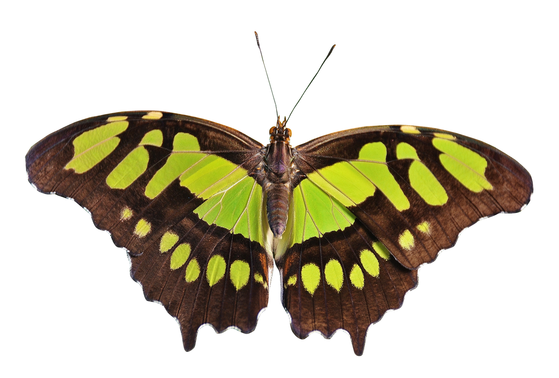 Png butterfly. Green image purepng free