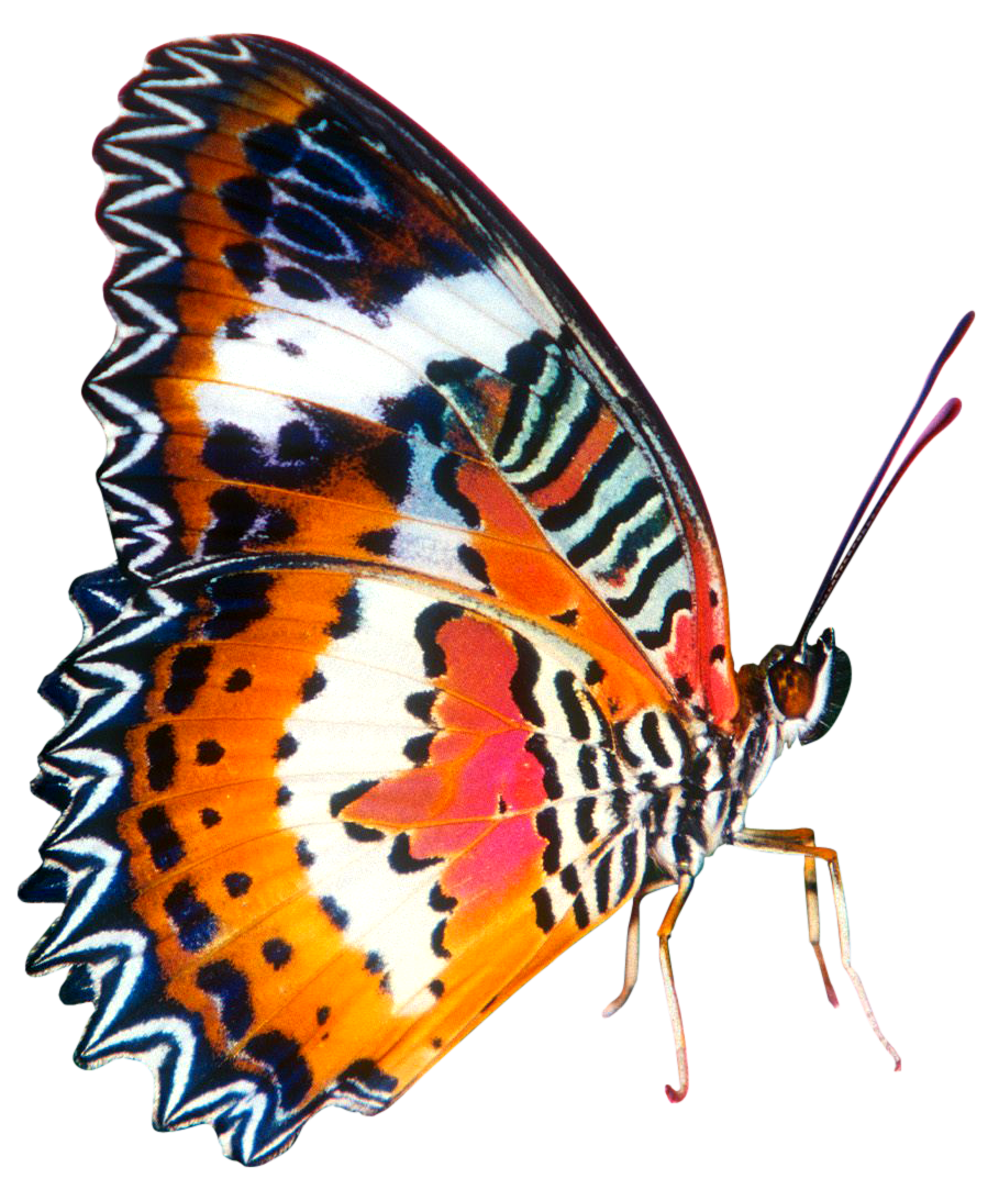 Png butterfly. Colourful in big size
