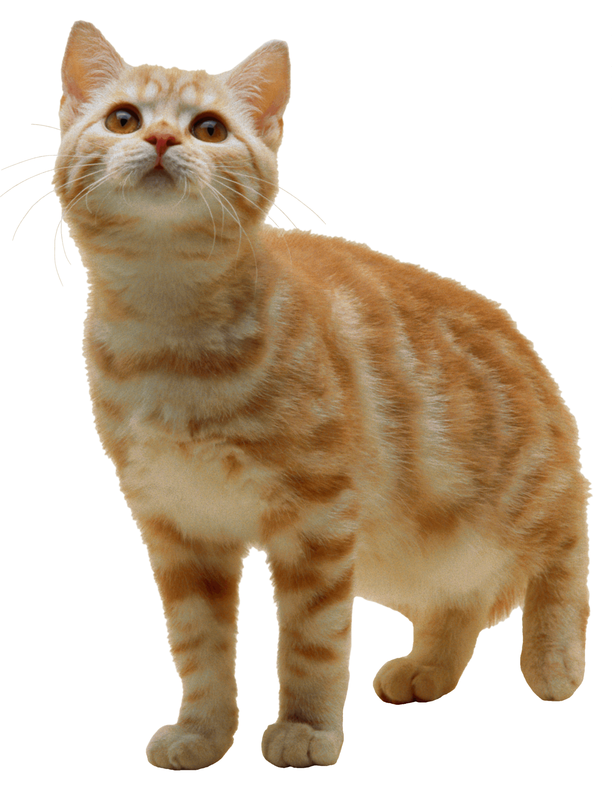 Orange kitten png