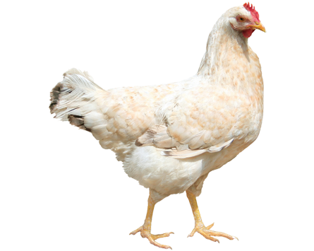 Png chicken. Kindersay