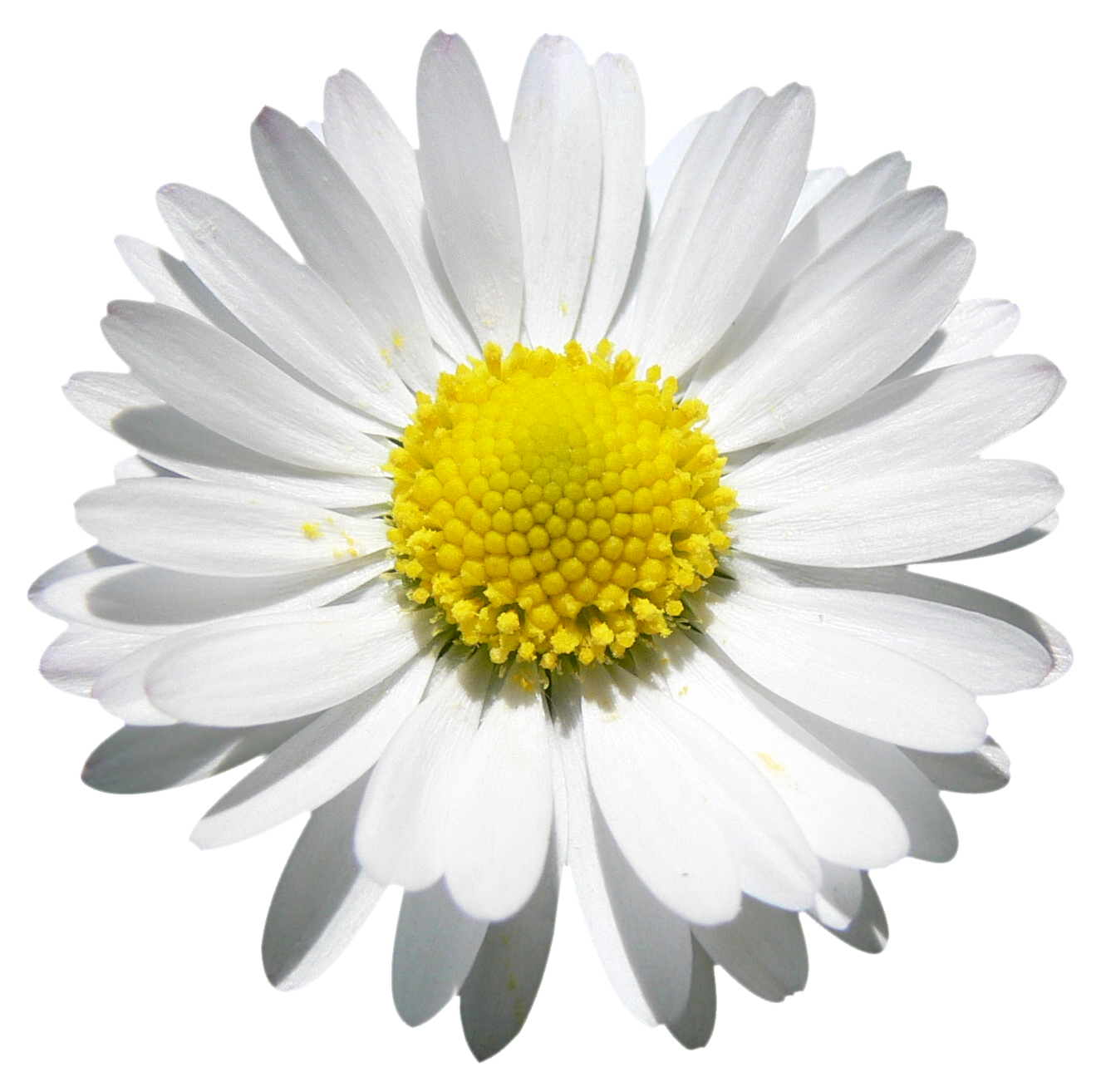 Png daisy. Beauty file attention only