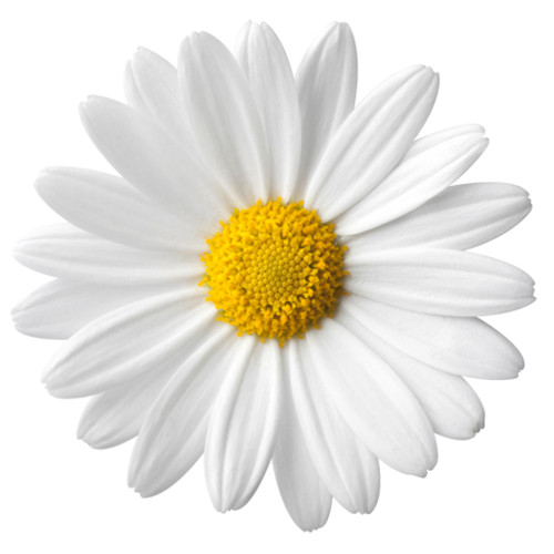 Flores png tumblr. Common daisy flower stock