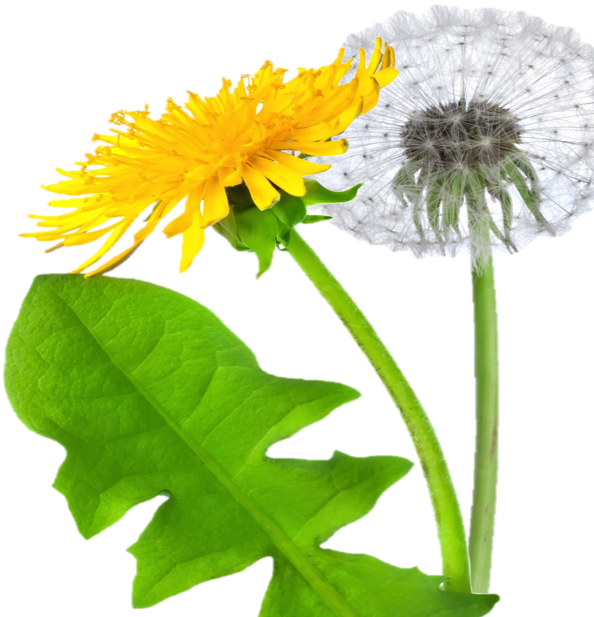 Png images free download. Dandelion transparent clipart royalty free library