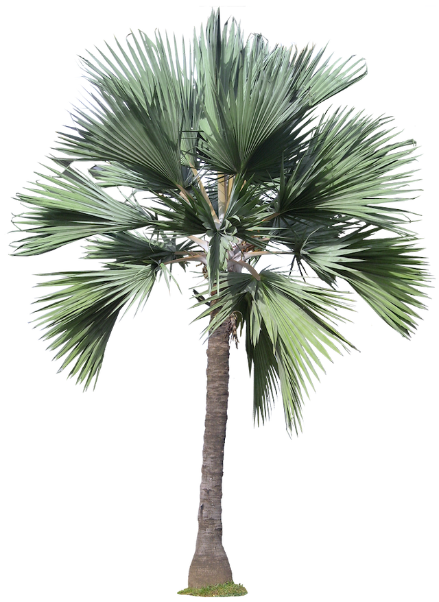 Sabal palm png. Free tree images