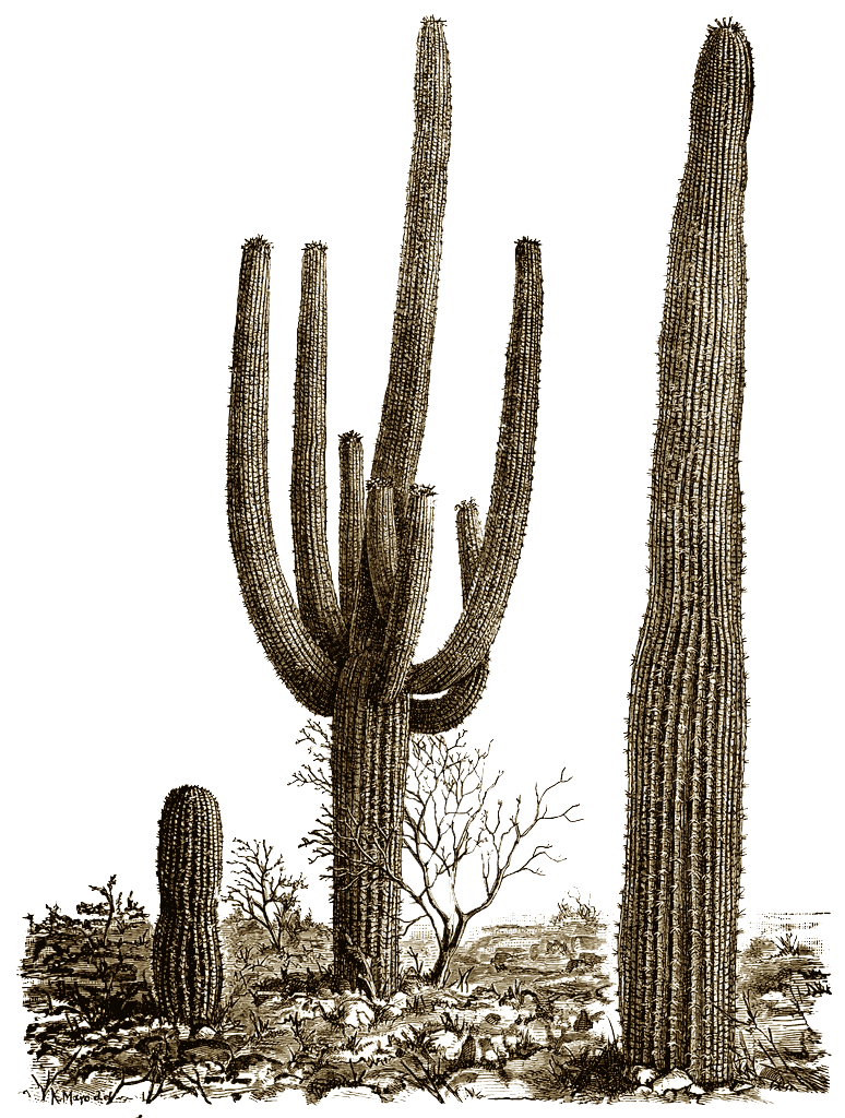 Transparent images pluspng file. Cactus png black and white library