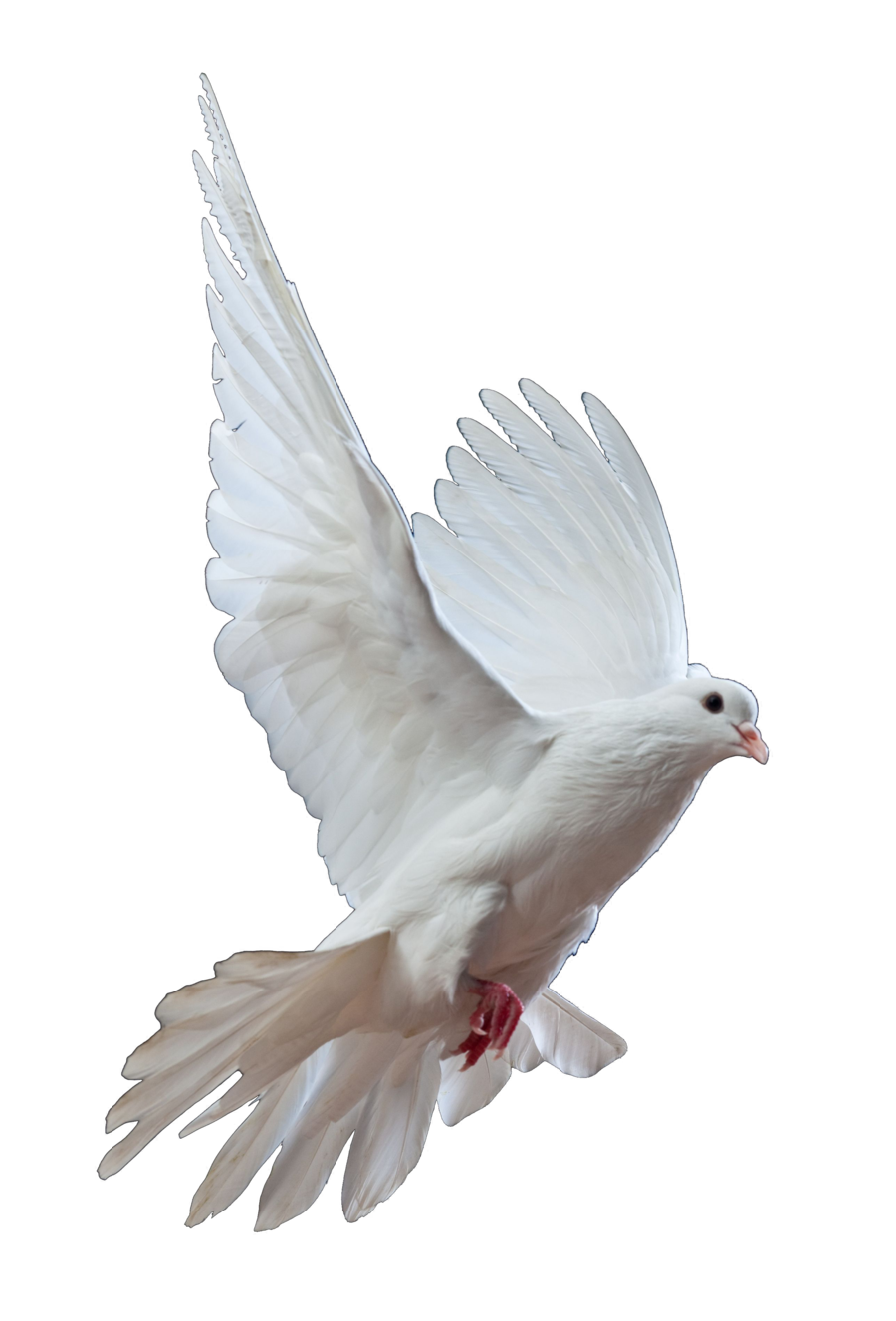 Png dove. Transparent images pluspng by