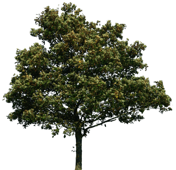 Tree elevation png. Image download picture u