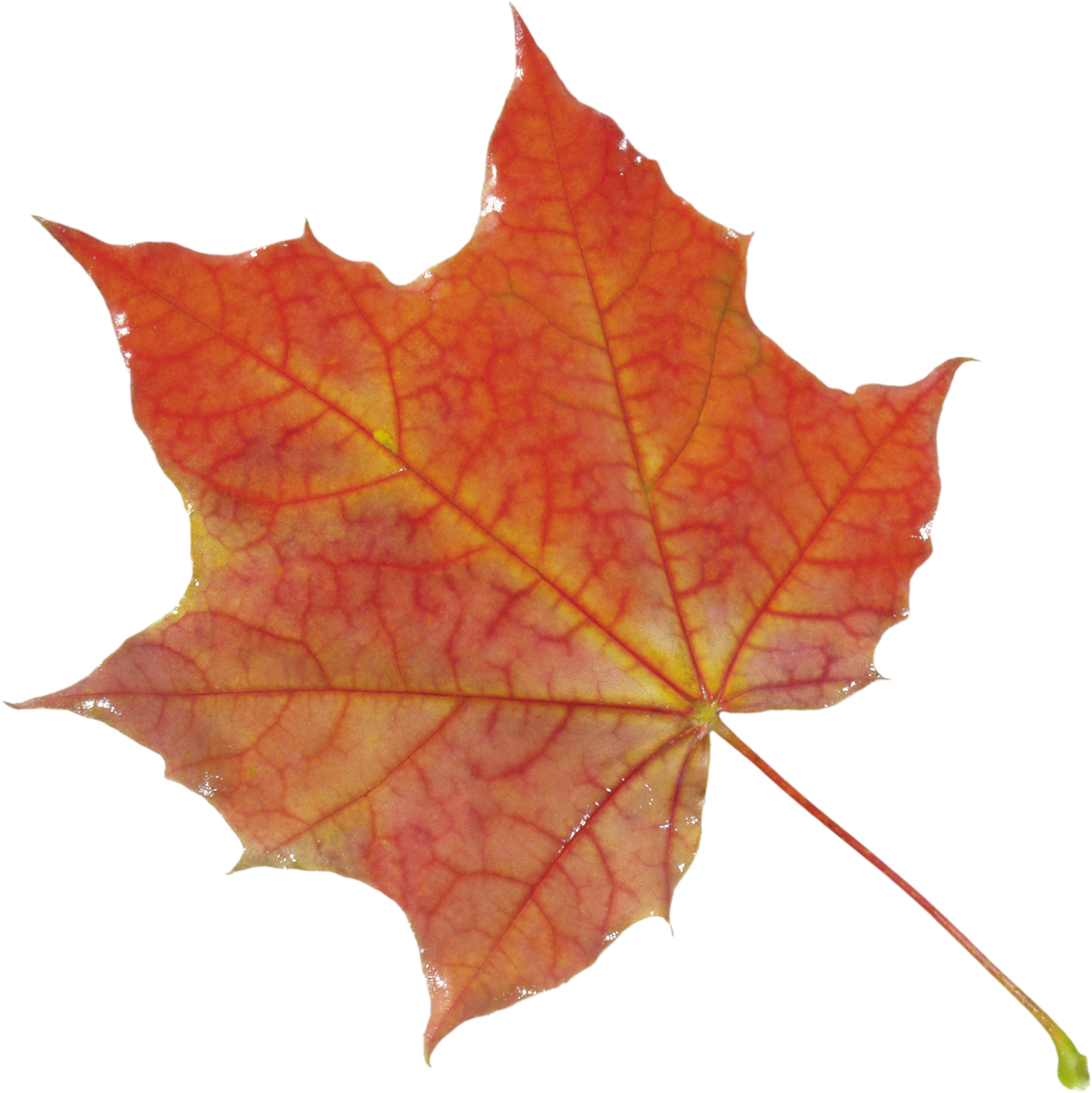Autumn leaves falling png. Images free yellow pictures