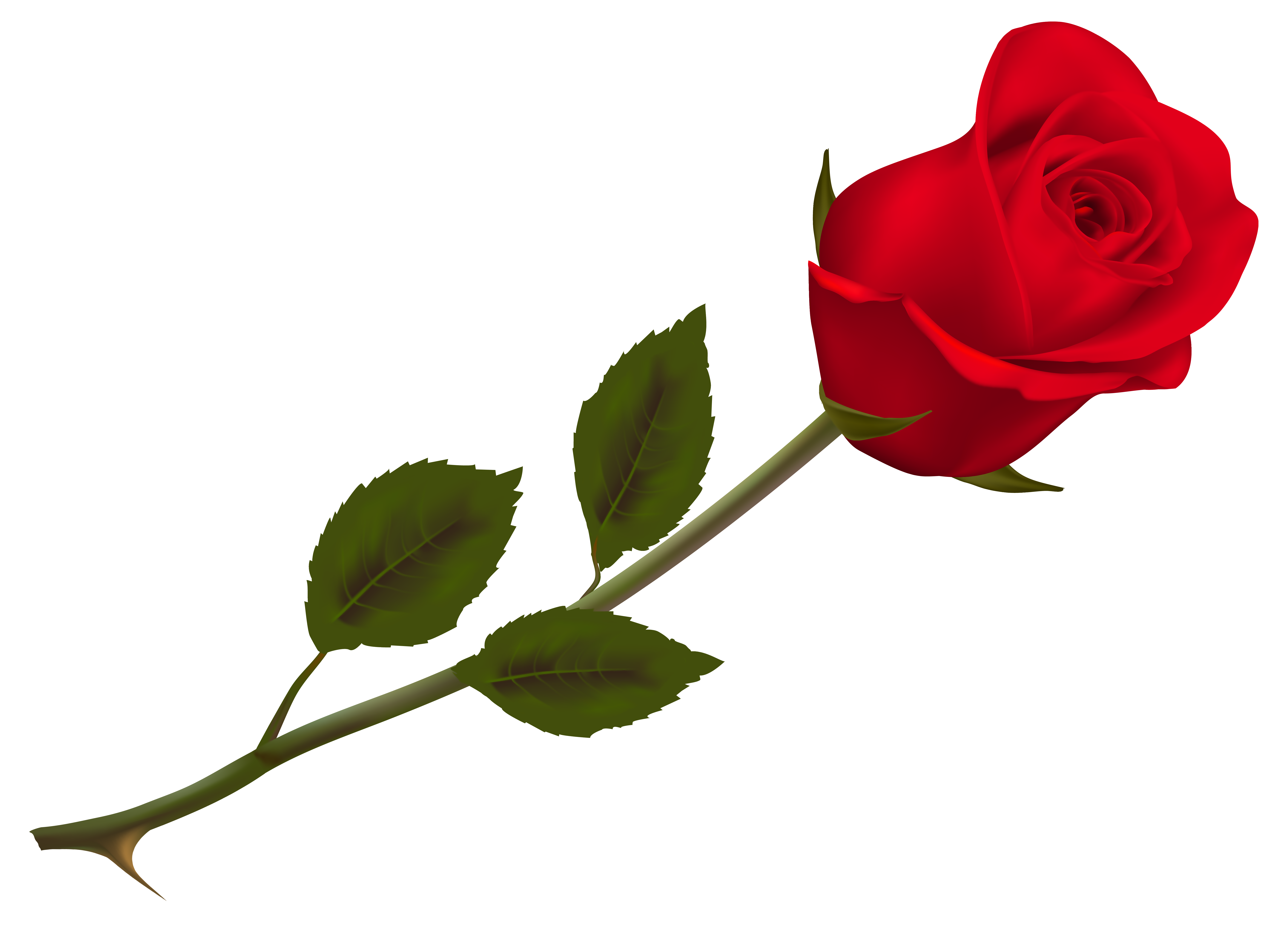 Flower rose png. Transparent beautiful red picture