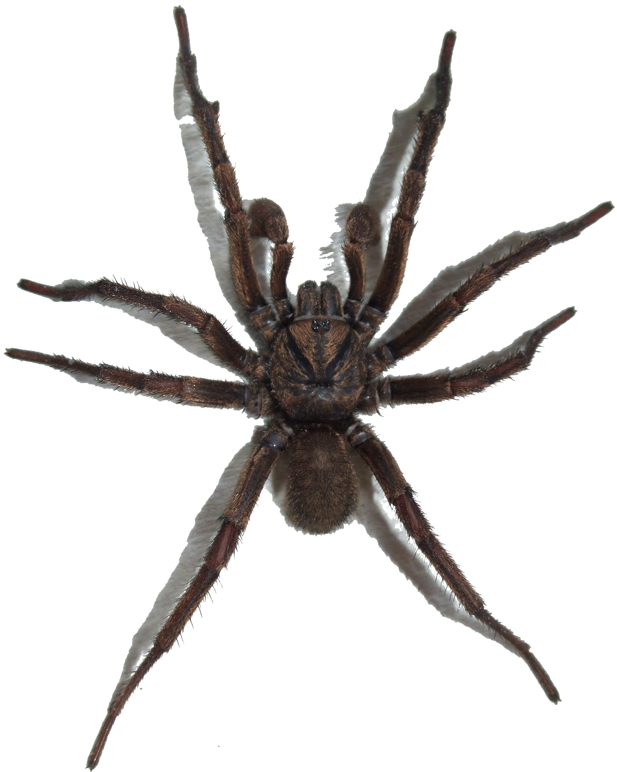 Png file transparent background. Brown trapdoor spider wikimedia