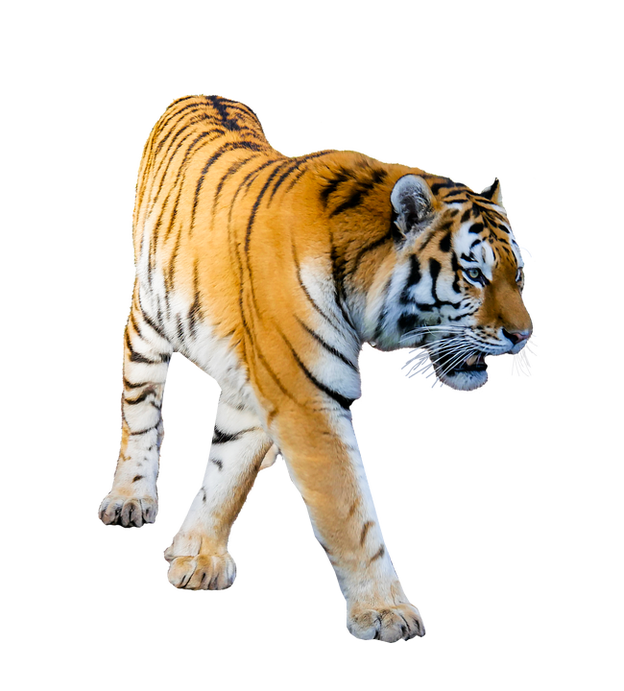 Png files with transparent background. Tiger prowling image format
