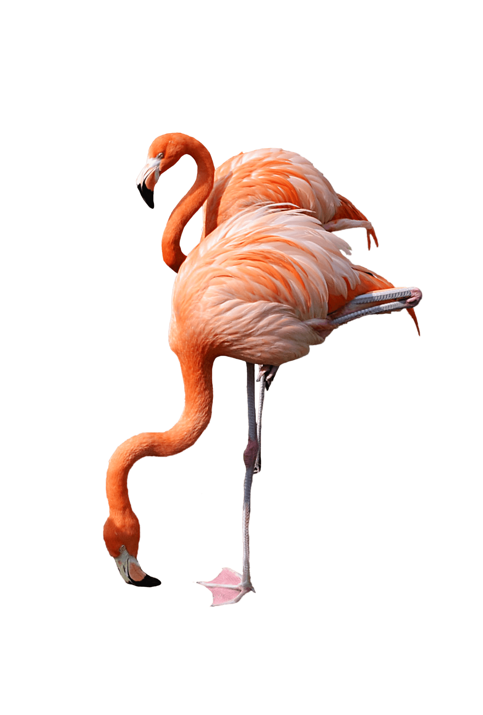 Png flamingo. Drinking transparent stickpng