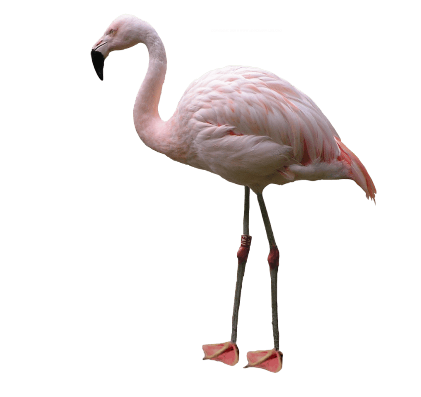 Png flamingo. Free images toppng transparent