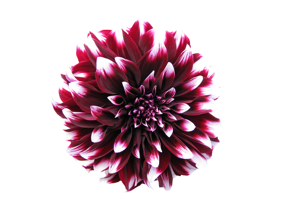 Burgundy flower png. Flowers images transparent free