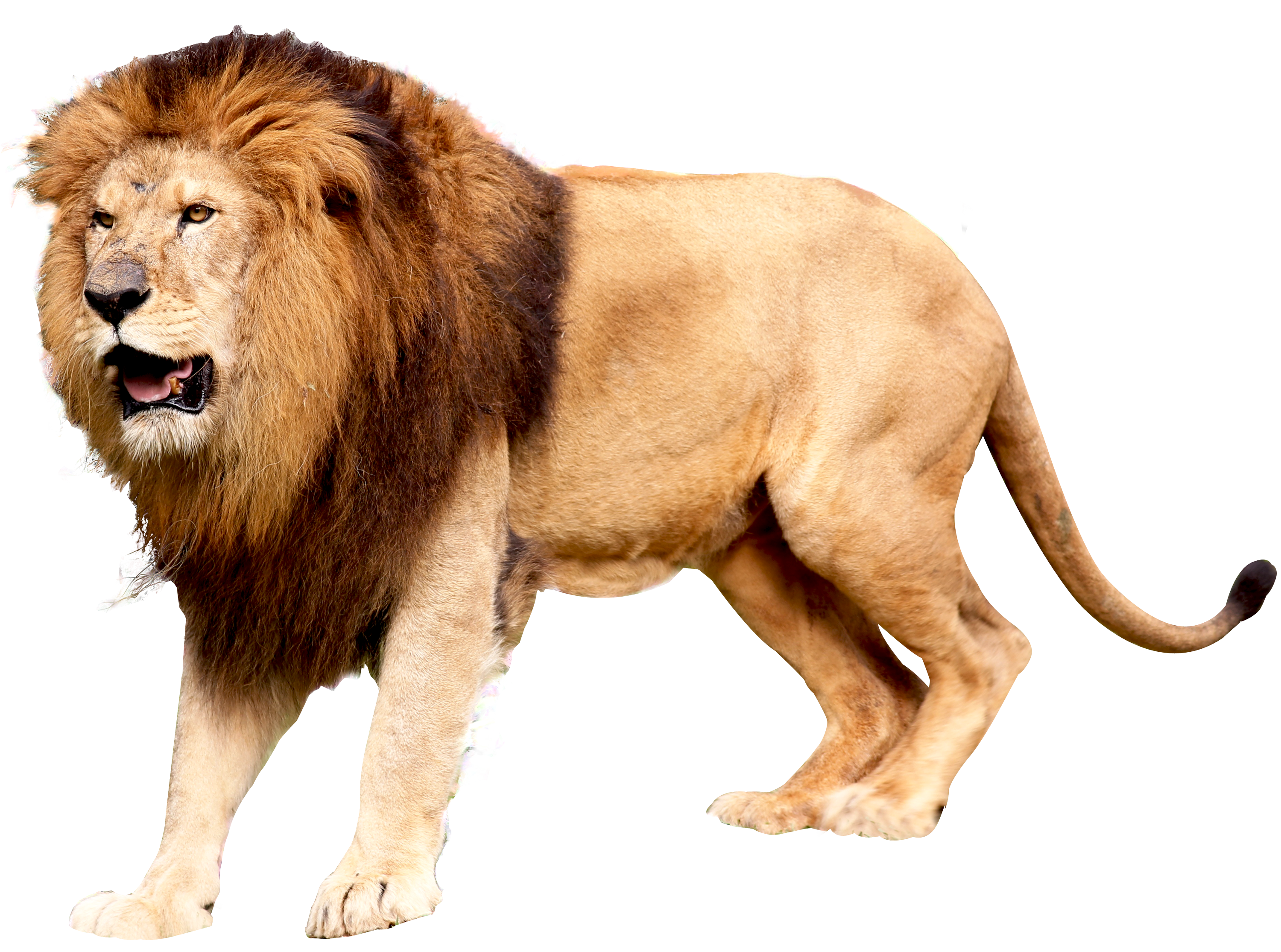 Png format images free download. Lion lions