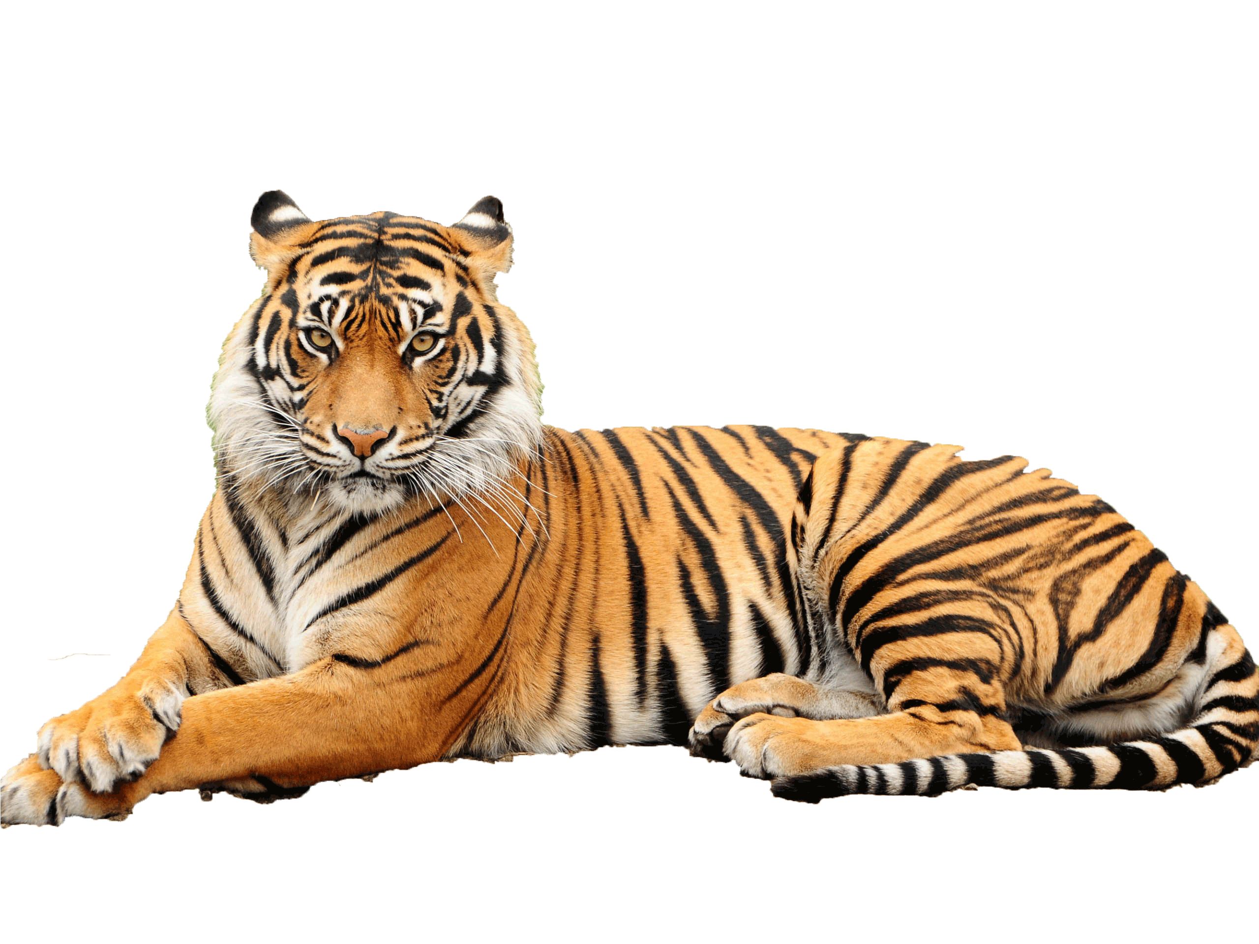 Transparent bg tiger. Png pictures free icons