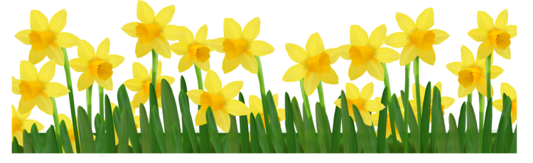 Daffodil vector background. Gilding the garden friends