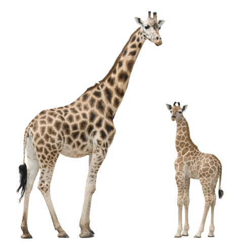 Png giraffe. Free images toppng transparent