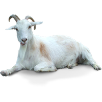 Goat .png. Download free png photo