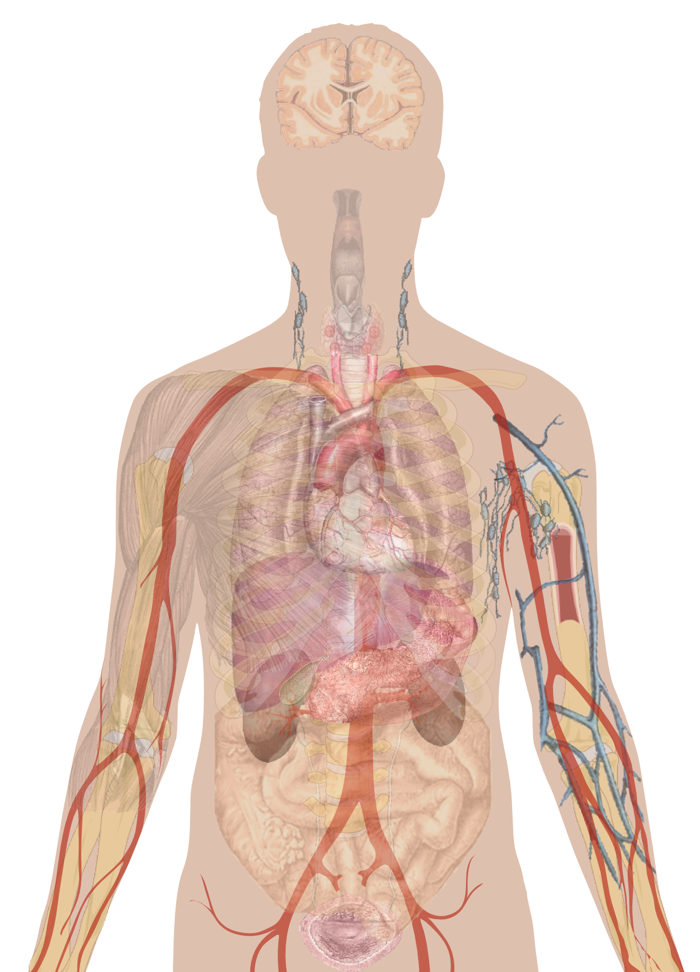 Png human body. File man shadow with