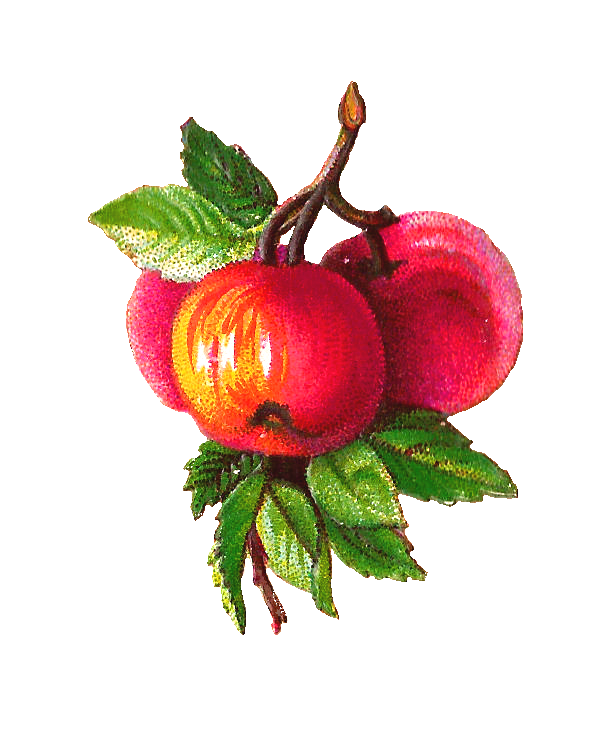 Png images of branches with apples. Antique free fruit clip