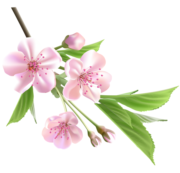 Flower branch png. Spring with pink tree