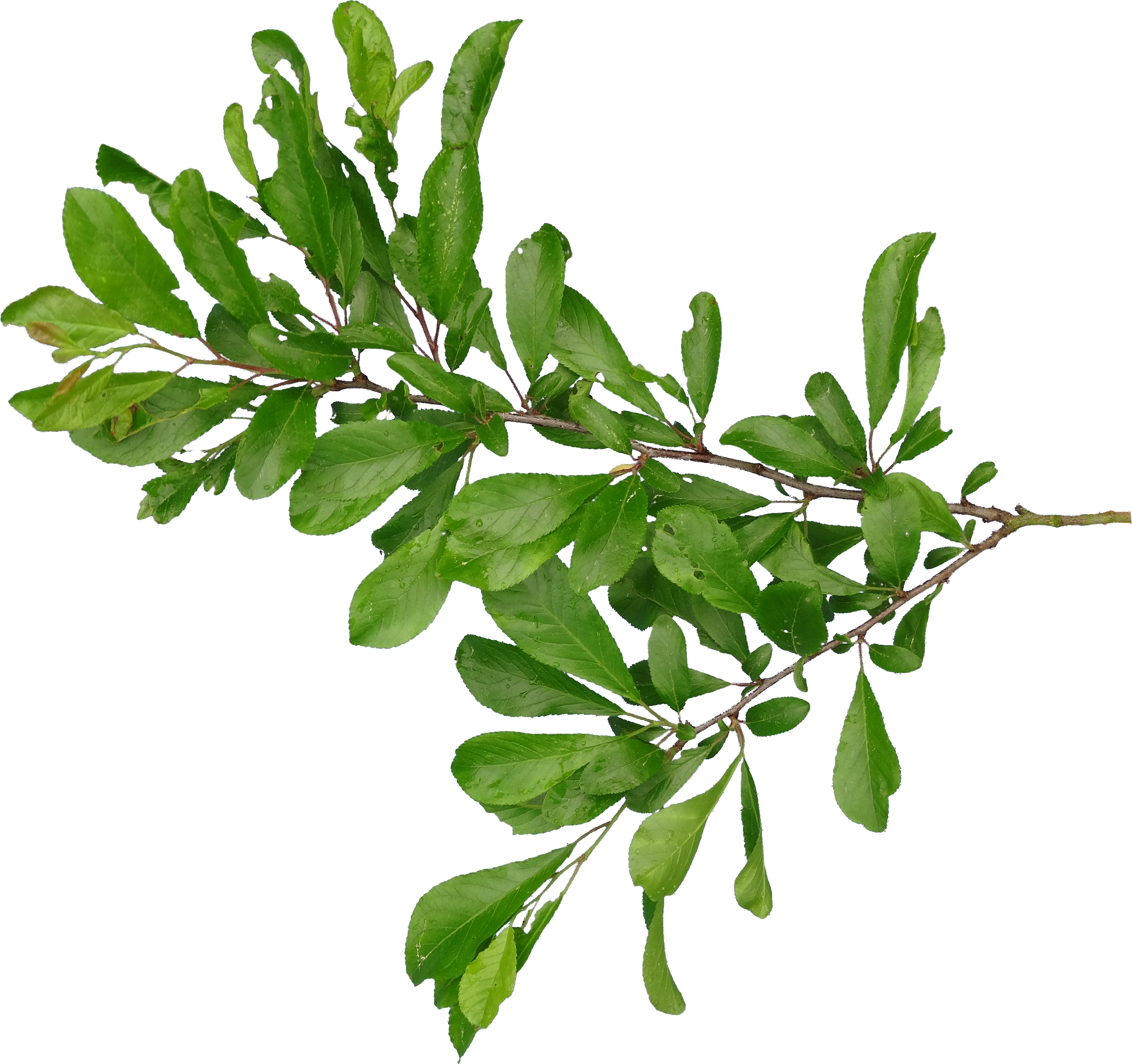 Png images of branches with apples. Afbeeldingsresultaat voor branch gmp