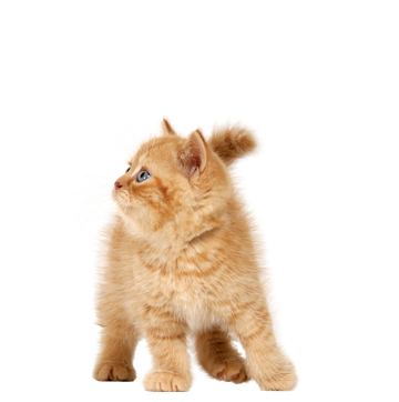Kittens transparent pet. Cats png free images