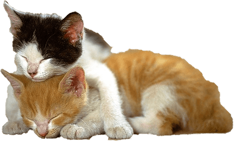 Kittens transparent. Kitten cats together png