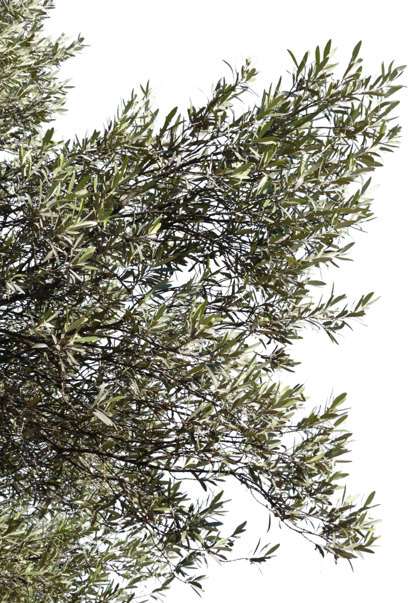 olive tree png
