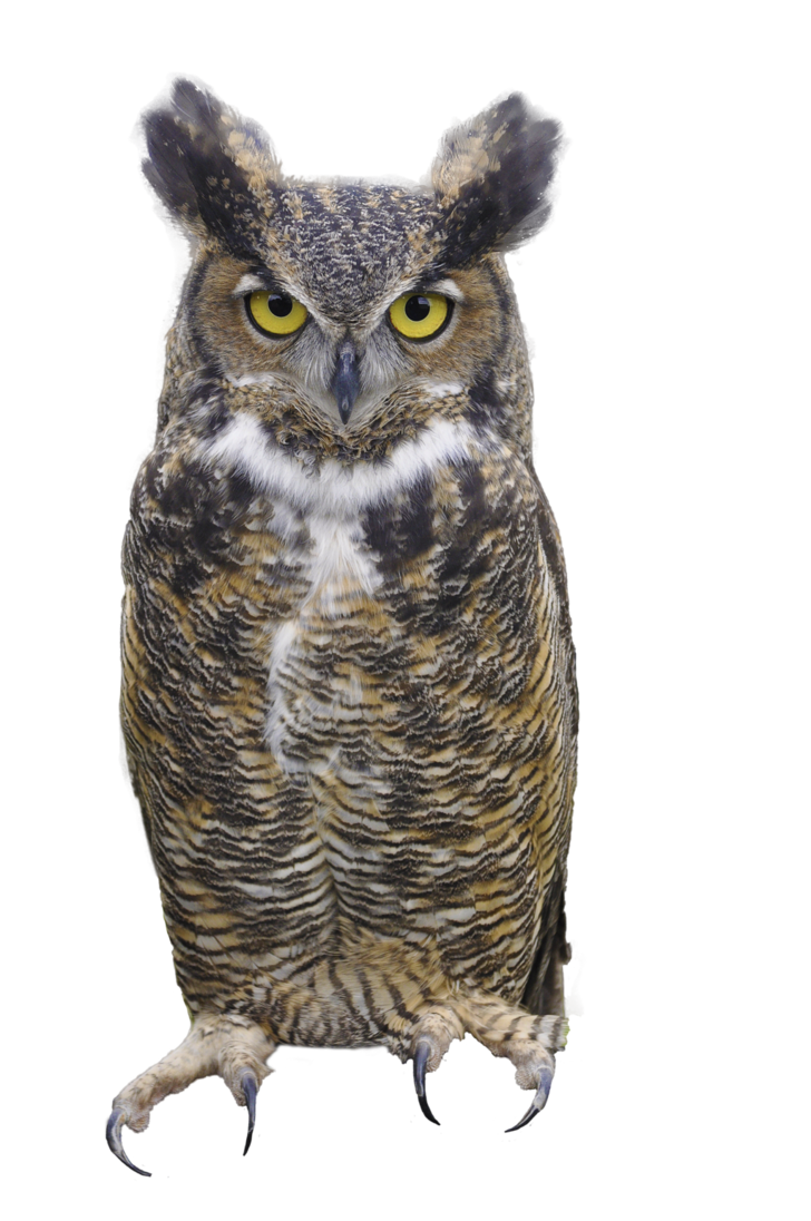 Png owl. Great horned by
