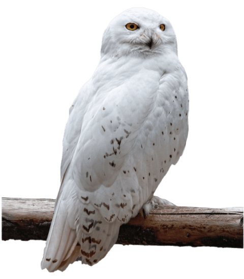 Png owl. Free images toppng transparent
