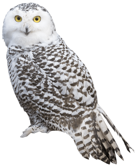 Png owl. White free images toppng