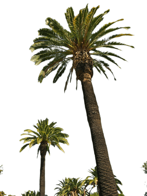 Png palm. Tree free images toppng