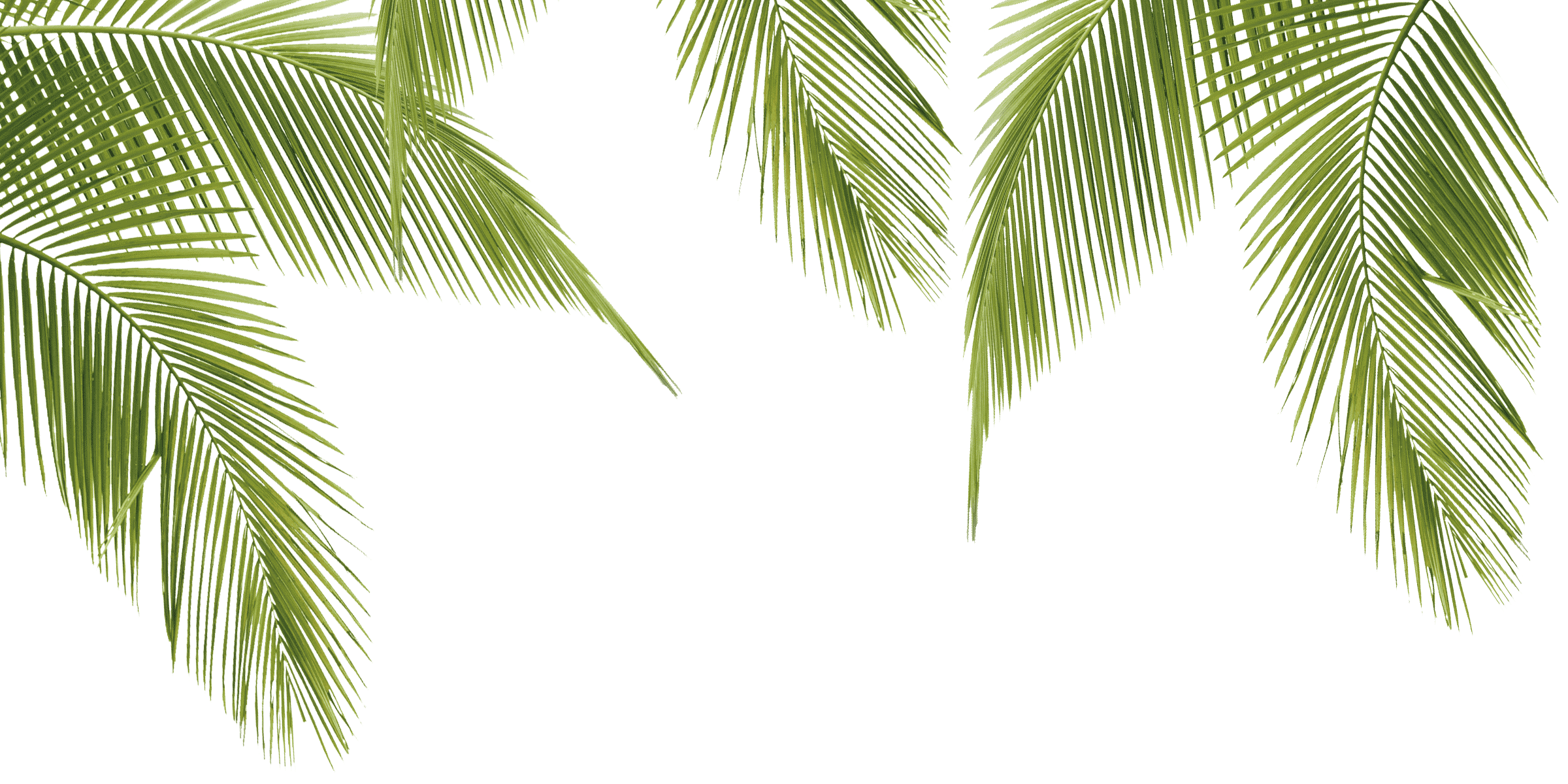 Png palm. Leaf image related wallpapers