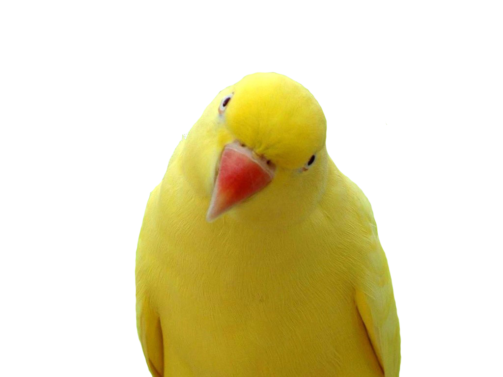 Png pictures download. Parrot images free yellow
