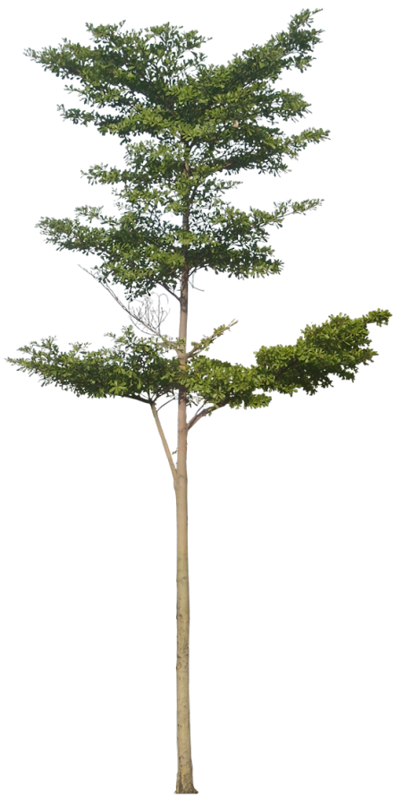 Trees drawing png. Free tree images