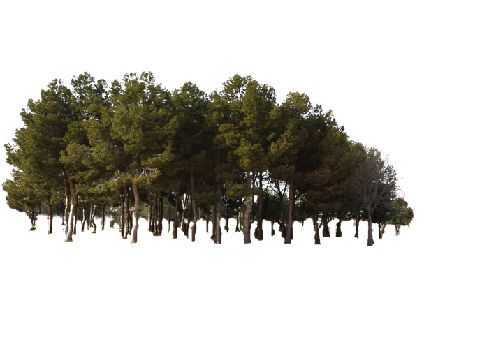 Tree forest jungle woods. Png pine trees png royalty free download