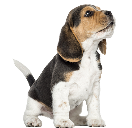Image beagle howling looking. Puppy png clipart free library