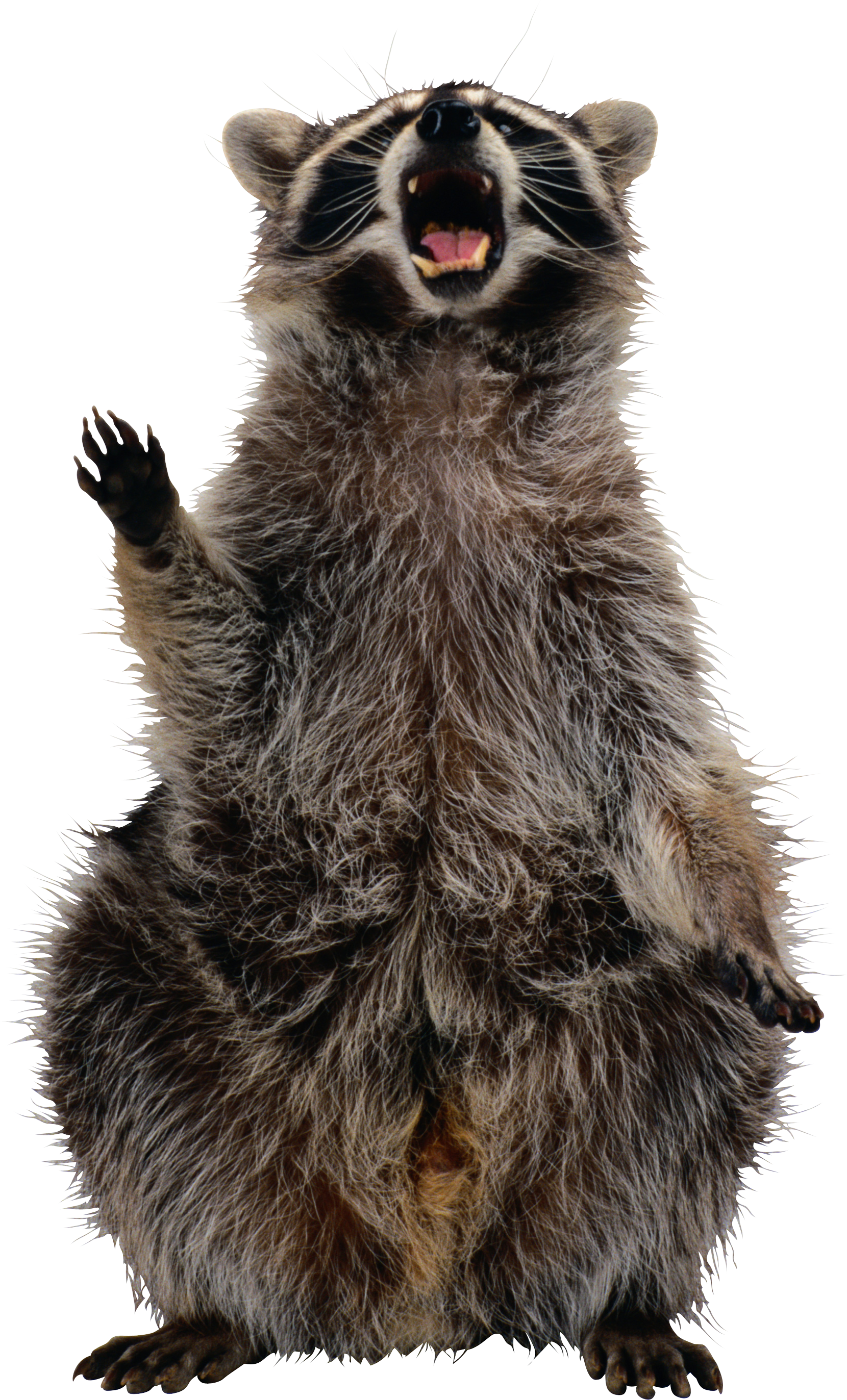 Png raccoon. Images free download