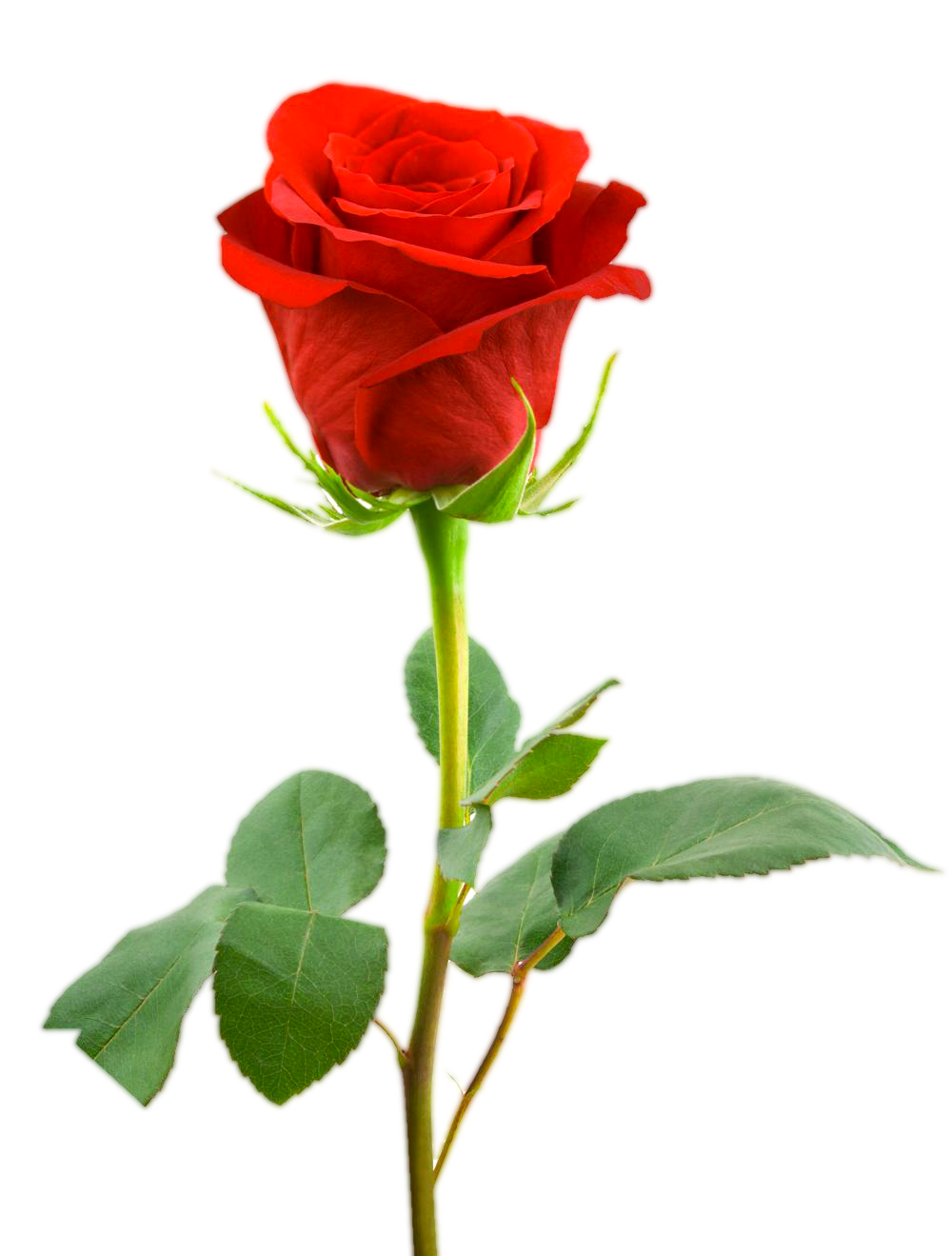 Png rose. Valentine red collection trasnsparent