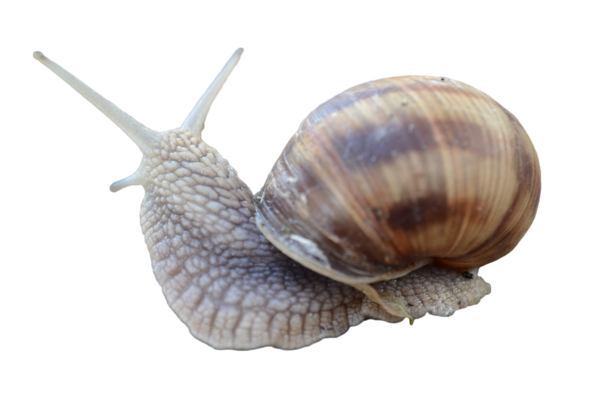 Png snail. By ivaxxx on deviantart