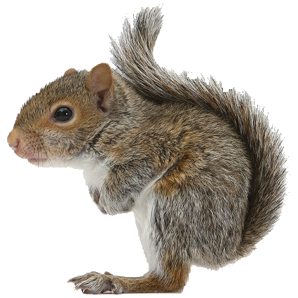 Png squirrel. Available in different size