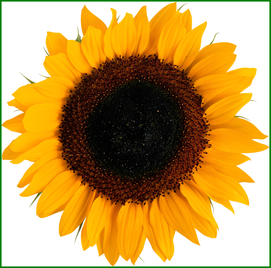 Png sunflower. Shocking logo and pics