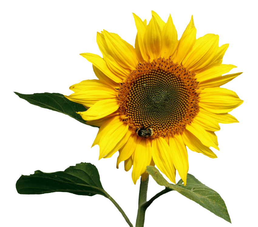 Png sunflower. Transparent free images toppng